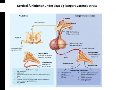 Kortisol ved akut og langvarig stress